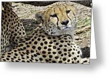 Cheetahs Resting Greeting Card