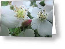 Cherokee Rose Dover Nh  Greeting Card