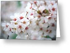 Cherry Blossom Close-up No. 6 Greeting Card