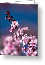 Cherry Blossoms 3 Greeting Card