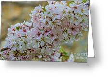 Cherry Blossoms Browns Island 7124t Greeting Card