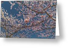 Cherry Blossoms In Bloom Greeting Card