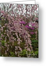Cherry Blossoms In Yoshino- 2 Greeting Card