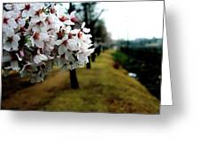 Cherry Blossoms Trail Greeting Card