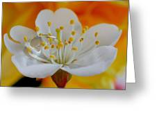 Cherry Flower In The Spring Greeting Card