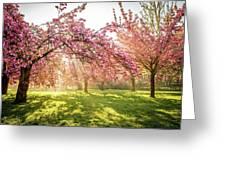 Cherry Flowers Garden Illuminated With Sunrise Beams Greeting Card