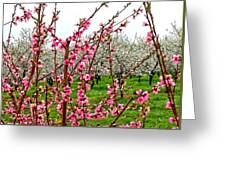 Cherry 'n' Apple Blossoms Greeting Card