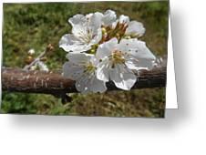 Cherry Tree Blossom White Flower Greeting Card