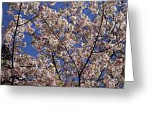 Cherry Tree In Bloom Greeting Card