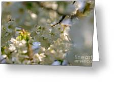 Cherryblossom In Focus Greeting Card