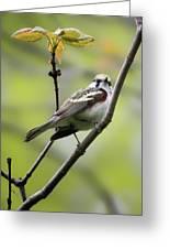 Chestnut Sided Warbler 2 Greeting Card