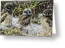 Chick Burrowing Owl  Greeting Card