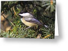 Chickadee-9 Greeting Card by Robert Pearson