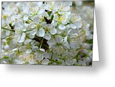 Chickasaw Plum Blooms Greeting Card
