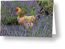 Chicken In The Lavender Greeting Card