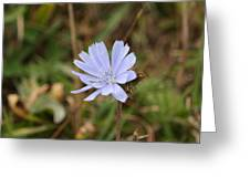 Chicory Blue Greeting Card