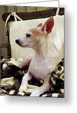 Chihuahua Chiqui Portrait 3 Greeting Card