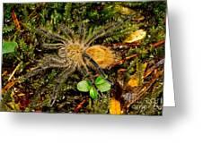 Chilean Tarantula Greeting Card