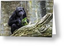 Chimpanzee Foraging Greeting Card