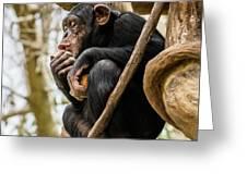 Chimpanzee, Nc Zoo Greeting Card