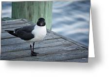 Chincoteague Island - Great Black-headed Gull Greeting Card