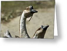 Chinese Geese Anser Cygnoides At Zoo Greeting Card