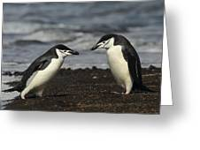Chinstrap Penguin Duo Greeting Card