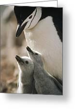 Chinstrap Penguin Pygoscelis Antarctica Greeting Card by Tui De Roy