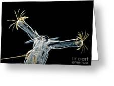 Chironomid Larva Chironomus Sp., Lm Greeting Card