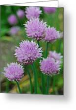 Chives Flowers Greeting Card