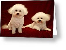 Chloe And Jolie The Bichon Frises Greeting Card by Michael Ledray