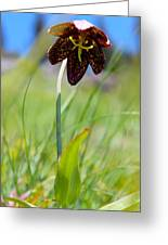 Chocolate Lily Two Greeting Card