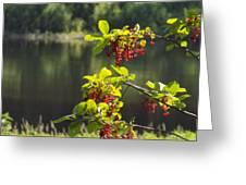 Chokecherries With River Bokeh Greeting Card