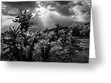 Cholla Cactus Garden Bathed In Sunlight In Black And White Greeting Card