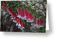 Christmas Bells 1 - Australian Native Fuchsia Greeting Card