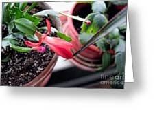 Christmas Cactus Bloom Greeting Card