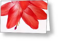 Christmas Cactus Macro Greeting Card