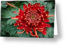 Christmas Chrysanthemum Greeting Card