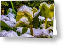 Christmas Rose April 25 Greeting Card