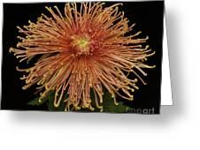 Chrysanthemum 'senkyo Kenshin' Greeting Card