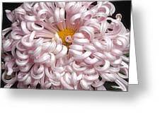 Chrysanthenmum 'satin Ribbon' Greeting Card