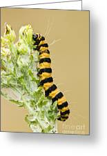 Cinnabar Moth Caterpillar Greeting Card