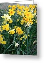 Circle Of Daffodils Greeting Card