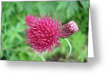 Cirsium Burgandy Thistle Greeting Card