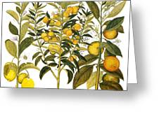 Citron And Orange, 1613 Greeting Card