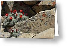 Claret Cup Cactus Nestled In Fractured Sandstone Greeting Card