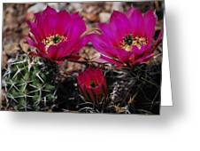 Claret Cups 2 Greeting Card
