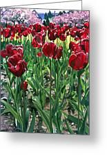 Claret Tulips  Greeting Card