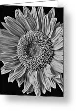 Classic Black And White Sunflower Greeting Card