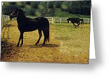 Classic Morgan Horses Greeting Card